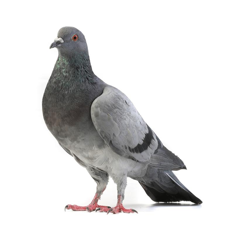 duif-plaagdier-ongedierte-bestrijden