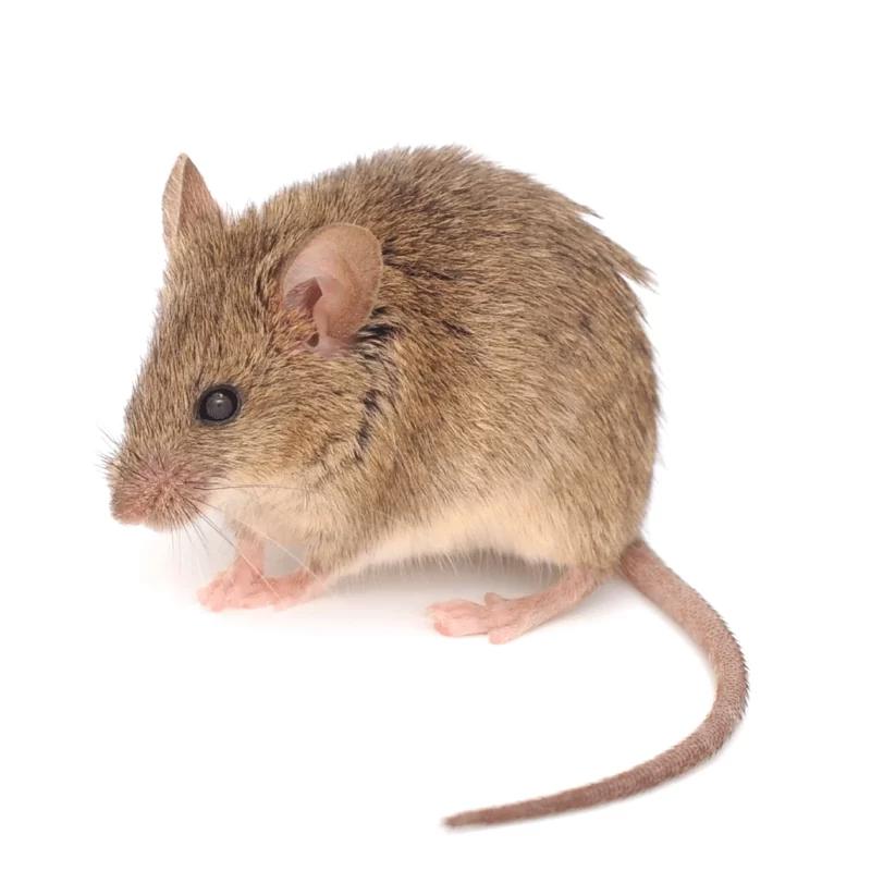 rat-plaagdier-ongedierte-bestrijden