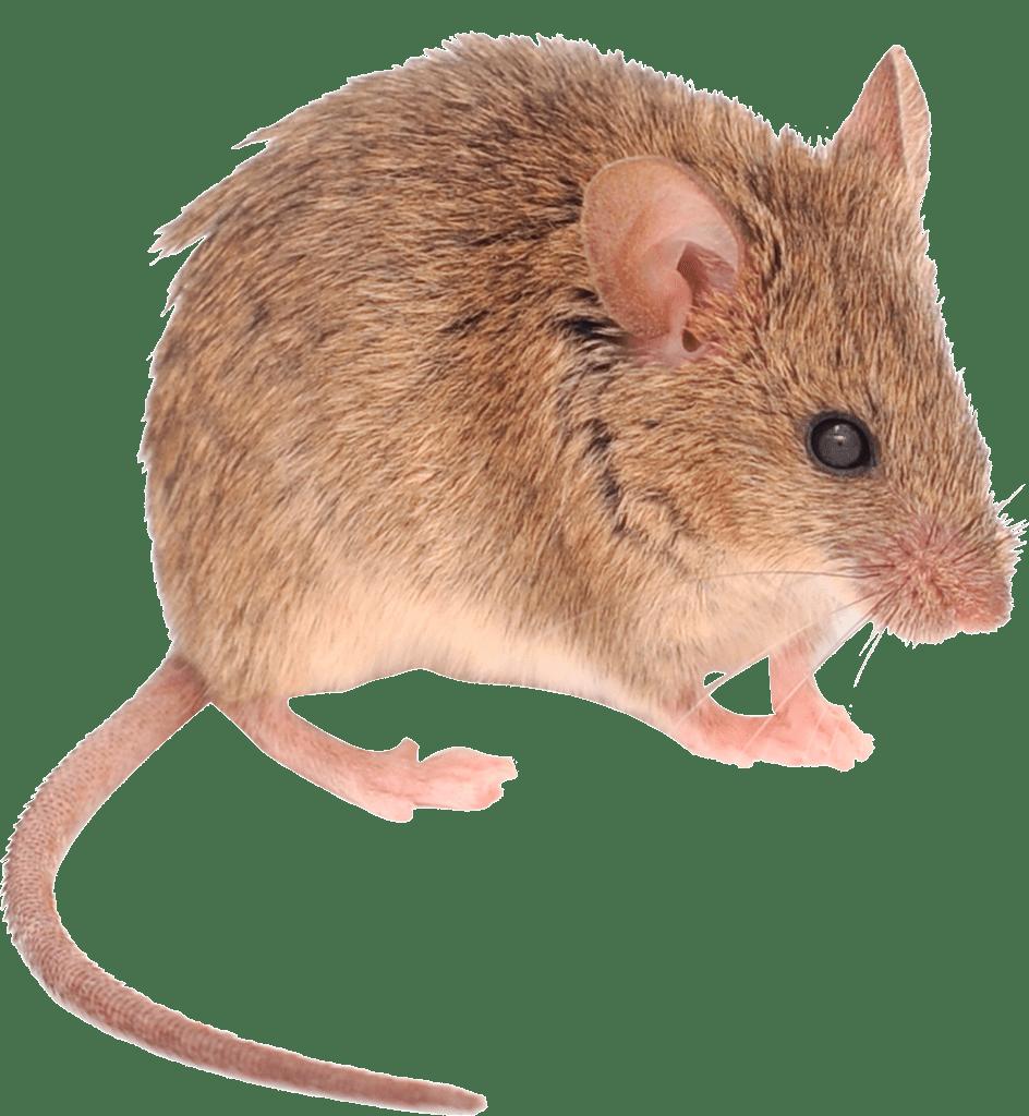muizen-bestrijden-netwerknv-spiegelbeeld