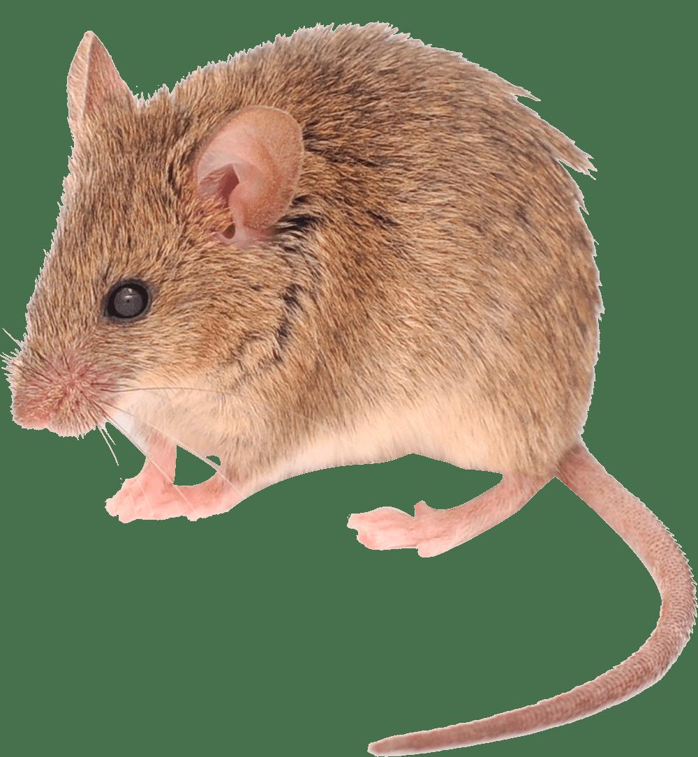 muizen-bestrijden-netwerknv
