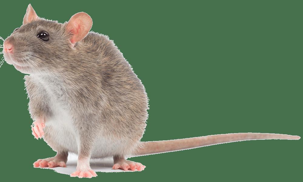 rat-overlast-bestrijden-iso