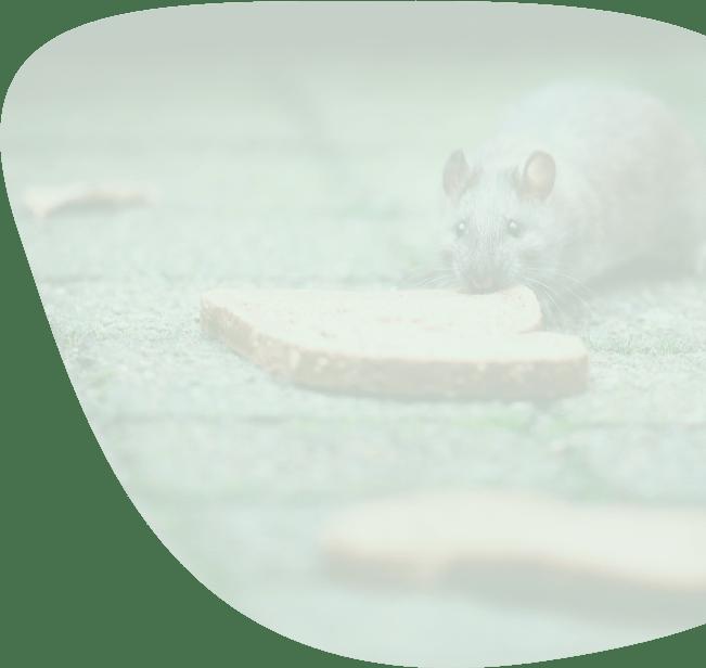 rat-overlast-bestrijden