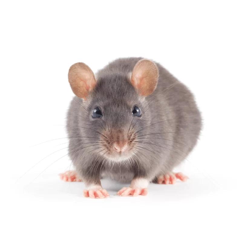 muis-plaagdier-ongedierte-bestrijden