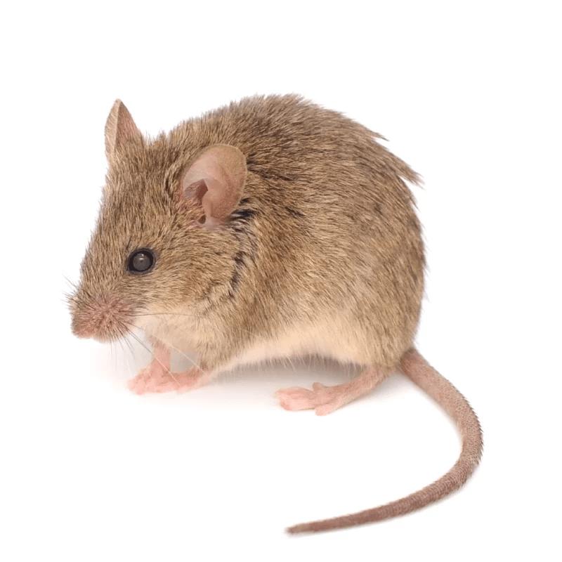 Muizen in huis - De beste tips van experts - ongediertebestrijding