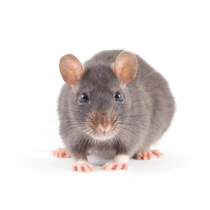 Ratten in huis? Voorkomen en bestrijden